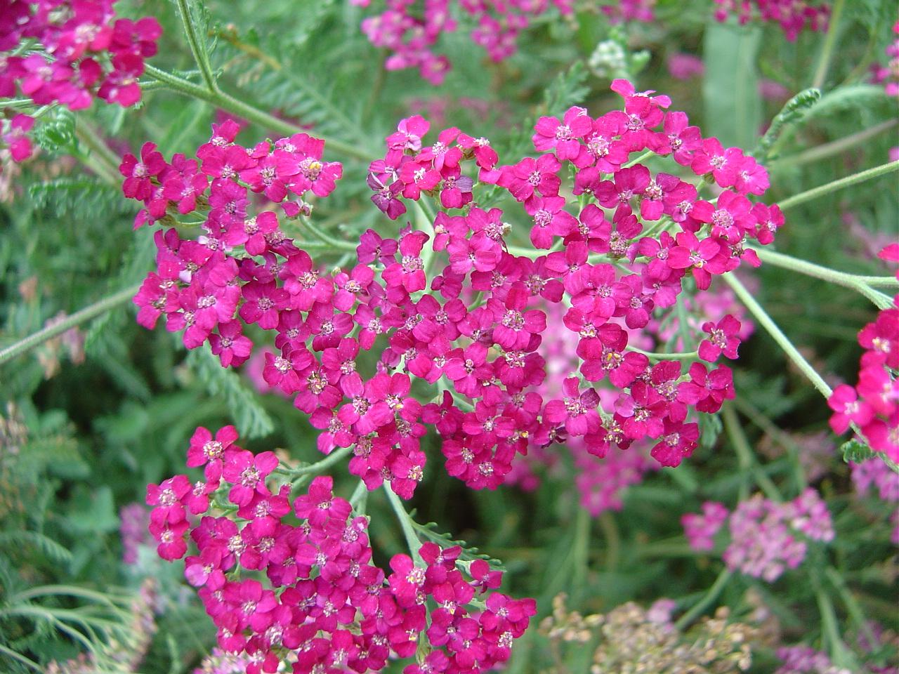 Redman hardy plants achillea collection - Hardy houseplants ...
