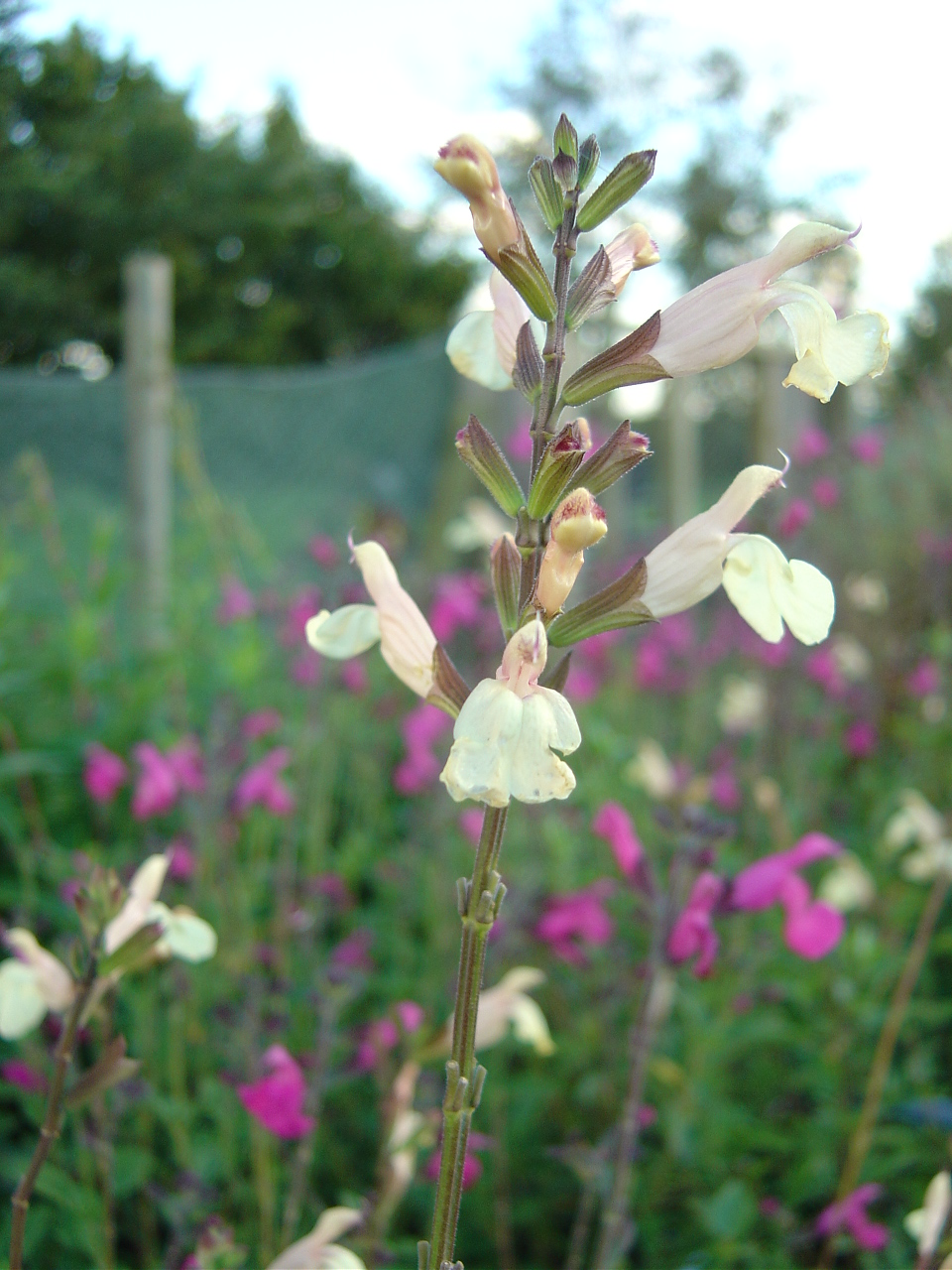 Redman hardy plants salvia microphylla 39 trelissick 39 3 for 12 - Hardy houseplants ...